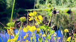 KOI ZUBEHÖR GÜNSTIG HIER: http://amzn.to/2p4zfhxIn diesem video möchte ich zeigen wie sich ein von mir angelegter Naturteich entwickelt hat. Insbesondere geht es dabei um den Fischbesatz, der zu Teilen aus Koi besteht. Zu dem Teich gibt es bereits einige Videos, die auf meinem Kanal oder über diese Links zu finden sind. Das Gewässer wurde ohne Folienabdichtung in einfacher Erdbauweise hergestellt. Anstehender Schluff und die Einleitung von Regenwasser sorgen dafür das der Teich nicht austrocknet und das Wasser nicht wegsickert. Der Teich ist in dieser Form nun etwa 3 Jahre alt und es hat sich ohne viel dazutun eine schöne Artenvielfalt angesiedelt. Fische wurden nach ca 1,5 Jahren eingesetzt, so konnte sich das Ökosystem vorher ausreichend einstellen und sich ein Bioschlamm bilden. Darunter waren ein paar Koi die nun seit 1,5 Jahren in diesem Teich Leben. Es gibt in diesem Gewässer keine angeschlossenen Filter, Pumpen oder Belüftungen und ich wollte einfach mal zeigen, wie es den Koi hier so geht. Mit einer geschätzten Sichtweite von ca. 40 cm ist das Wasser natürlich nicht klar wie in einem konventionellen Koiteich, somit sind die Tiere nicht immer sichtbar. Dies wirkt sich jedoch positiv auf das Befinden der Tiere aus. Die Farben der Tiere haben sich merklich verbessert, nachdem ich sie aus einem kleinen konventionellen Koiteich erstanden hatte. Im nun trüberen Wasser können sich die Koi verstecken und Schutz suchen und es wird so Stress vermieden, was sich wiederum positiv auf die Gesundheit auswirken kann. Nun kann ich das nicht medizinisch belegen, da die Tiere von mir nie untersucht wurden, jedoch sind mir bis jetzt keine Krankheitssymptome an ihnen aufgefallen. Die Koi fressen gerne von den unzähligen Wasserflöhen und Organismen die sich im Teichwasser tummeln. Diese eiweißreiche Nahrung trägt zu dem guten Wachstum der Fische bei und ist auch laut Koiexperten mit keinem Trockenfutter vergleichbar.Laut Vorbesitzer hatten die Tiere ein Alter von etwa 7 Jahren u