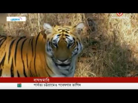 Eight tigers increased in three years in Bangladesh (23-05-2019) Courtesy: Independent TV