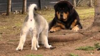 Nonton Alaskan Malamute Puppy Playing With Tibetan Mastiffs Film Subtitle Indonesia Streaming Movie Download
