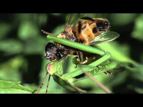Gottesanbeterin frisst eine Fliege