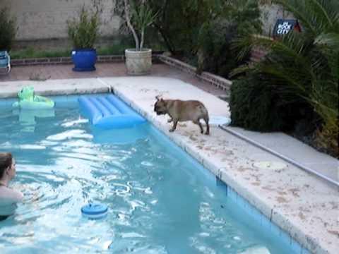 VIDEO: Buldoček překonal strach z vody, avšak trvalo mu to