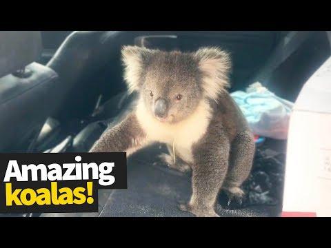 Koala Madness   Cutest and Craziest Koala Compilation 2019