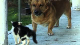 Video Duel seru anjing vs kucing MP3, 3GP, MP4, WEBM, AVI, FLV Oktober 2017