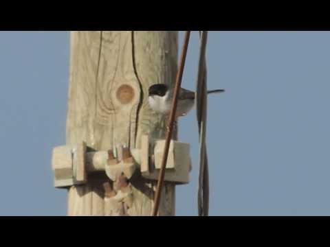 Cerco occhiocotto (sylvia melanocephala)