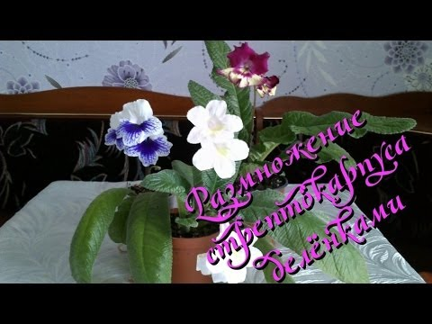 Цветы стрептокарпус и уход за ними