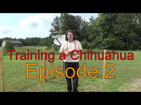 How to train your Chihuahua dog to Come-Sit-& Stay- Episode 2