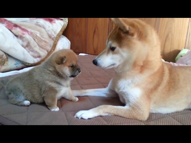 A roly‐poly Shiba Inu puppy, punches don't reach.柴犬の赤ちゃん 燐五(りんご)