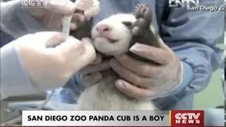VIDEO  SAN DIEGO ZOO PANDA CUB IS A BOY