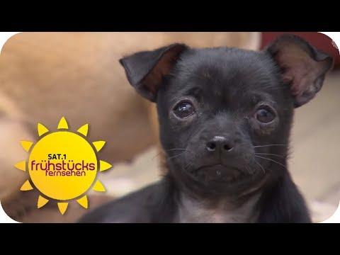 Kleine Hunde in Not: Tierschutz rettet 80 Hunde! | SA ...