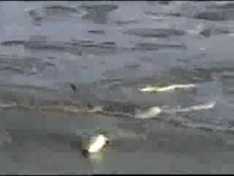 SURF FISHING DELAWARE – 2007
