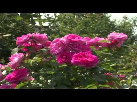Как вырастить розы в сибирском климате?