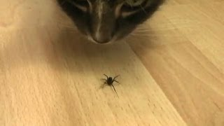 The Death of a Spider (by cats)