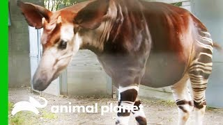 This Amazing Animal Looks Like A Cross Between An Antelope, A Giraffe, and A Zebra!   The Zoo by Animal Planet