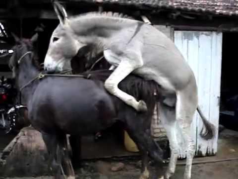 Donkey Mating