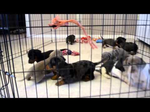 Spike Silver Dapple Male Miniature Dachshund Puppy for sale