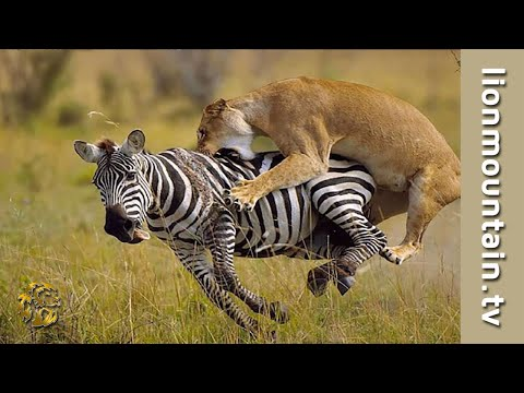 Video Lion Hunting Zebra on the Masai Mara | CLASSIC WILDLIFE download in MP3, 3GP, MP4, WEBM, AVI, FLV January 2017