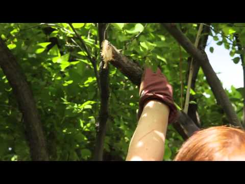 How to Prune Old Wood on a Lilac Bush : Grow Guru