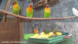 Video Lovebirds Activity - Meal Time and Play - Multicam MP3, 3GP, MP4, WEBM, AVI, FLV Juli 2019