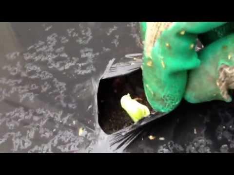 里芋の栽培方法|芽が出てきた後のマルチの取り方