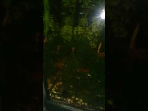 Gambario Red cherry & Cristal Red 'gradoA' (видео)