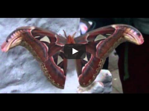 Wonderful butterfly in Nepal, snake image in wings....