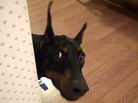 doberman plays hide and seek