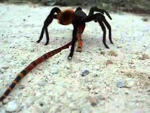 Tarantula vs cobra coral