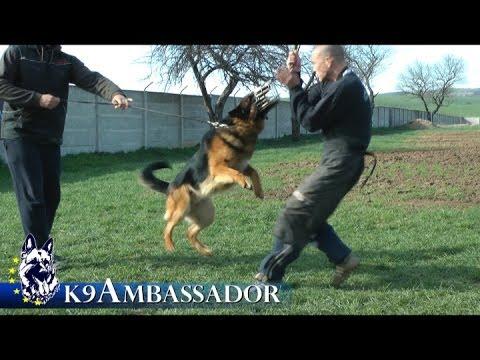 Video REX - Personal Protection Dog / K9 Ambassador download in MP3, 3GP, MP4, WEBM, AVI, FLV January 2017