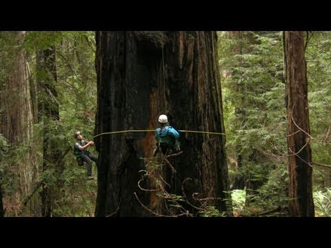 redwood - Forest ecologist Steve Sillett is leading a team of scientists as they climb and measure every branch of some of the last and tallest old growth redwoods in ...