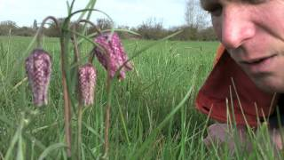 Our fritillaries are in bloom