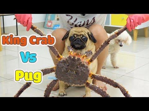 Đại Chiến Giữa Cua Hoàng Đế Và Thộn Lộn Xộn - King Crab Vs Pug - Thời lượng: 14:59.