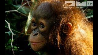 Robotic Spy Orangutan Meets Real Orangutans For The First Time