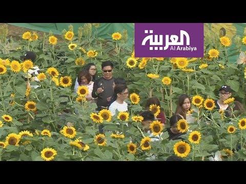 العرب اليوم - متاهات برائحة زهور عباد الشمس في الفلبين