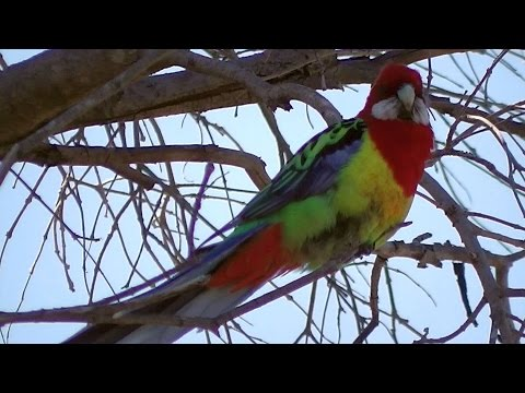 Eastern Rosella Parrot Chatting  ?????