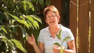 Datolyaszilva (Diospyros kaki) - Kertbarátok - Kertészeti TV - műsor