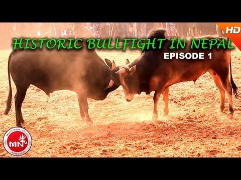 Video Historic Bull Fight in Nepal | Nuwakot Taruka | Must Watch Nepali Video Episode 1 download in MP3, 3GP, MP4, WEBM, AVI, FLV January 2017