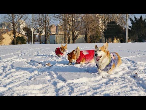 Corgi Snow Party
