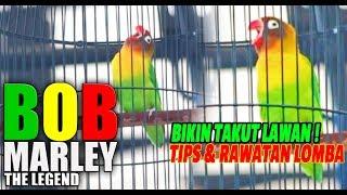 JAYAKARTA CUP 2018 : Ternyata Lovebird BOB MARLEY BIKIN TAKUT LAWAN ! Dan Bongkar Tips Rawatan Lomba