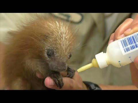 Chikago: Erstmals Greifstachler im Zoo geboren