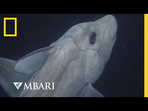 Ghost Shark Caught on Camera for the First Time