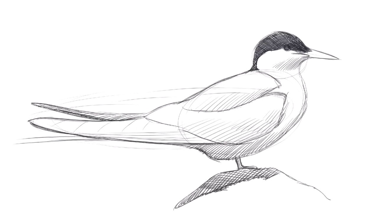 Drawing an Arctic Tern with David Allen Sibley