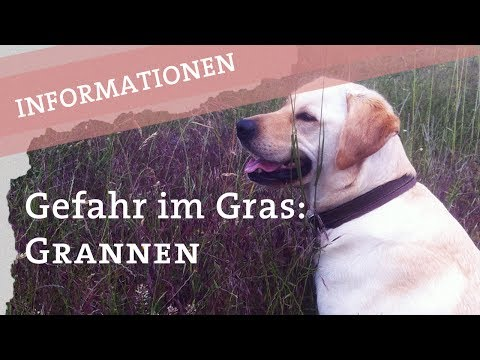 Grannen: Gefahr auf der Wiese - Ikarus Hund Hunde - Augen Ohren Pfoten Labrador Retriever