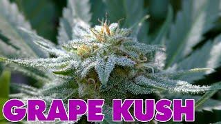 Grape Kush by Urban Grower