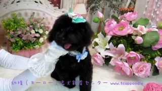 Toy Poodle 330