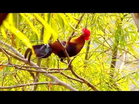 ไก่ป่า-Red junglefowl 2011  1/4