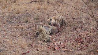 Video Pertarungan Sengit Antara Macan Tutul dan Hyena MP3, 3GP, MP4, WEBM, AVI, FLV Februari 2019