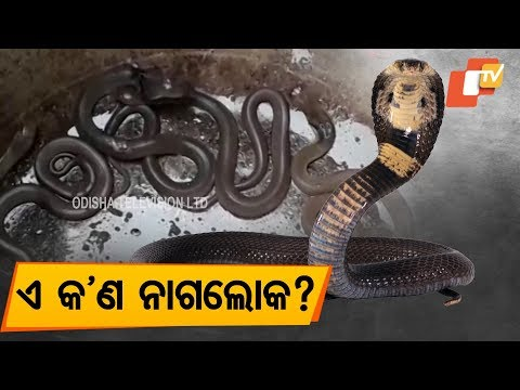Video 10 Cobras Rescued From Another House In Bhadrak download in MP3, 3GP, MP4, WEBM, AVI, FLV January 2017