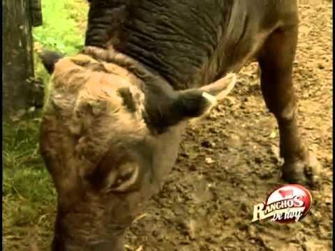 Rancho Santa Clara Suizo Europeo Toro de Reparo en la Huasteca Veracruzana