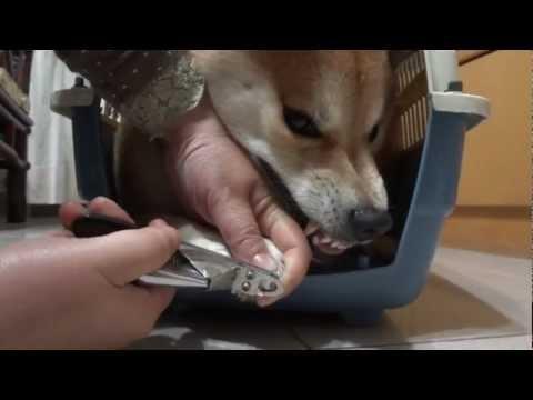 剪指甲就在幾乎要崩潰的柴犬,我真佩服這主人還剪的下手!太厲害了
