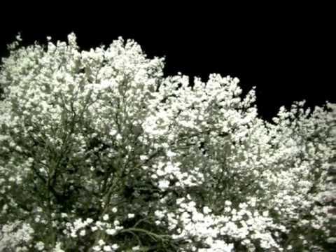 【動画フェス】 一心行夜桜